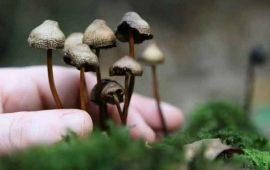 quieren-legalizar-los-hongos-alucinogenos-en-eu